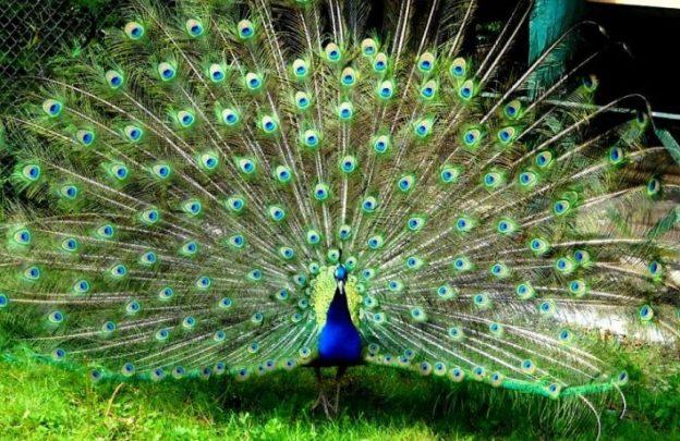 Asal Usul Julukan Burung Surga Cendrawasih